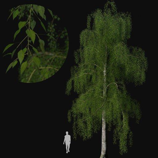 Thumbnail: Birch tree 01