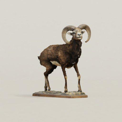 Thumbnail: Corsican Mouflon - Corentin