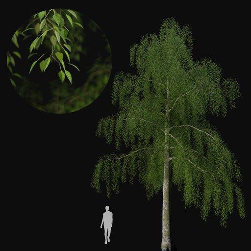 Thumbnail: Birch tree 02