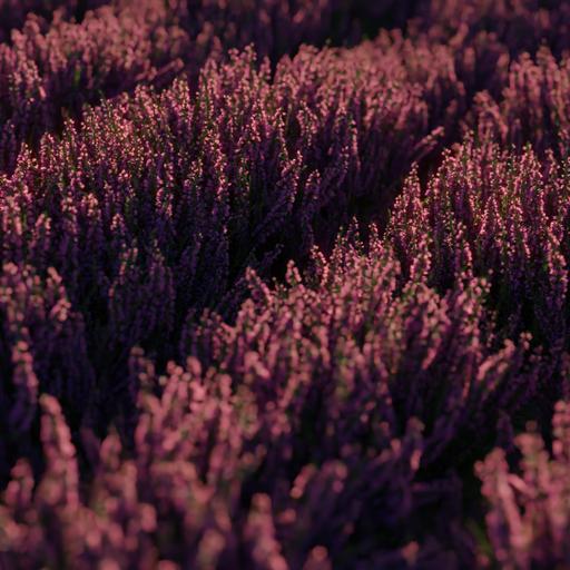 Thumbnail: Heather Plants