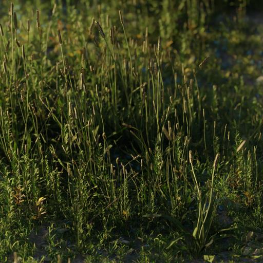 Thumbnail: Ribwort Plantain